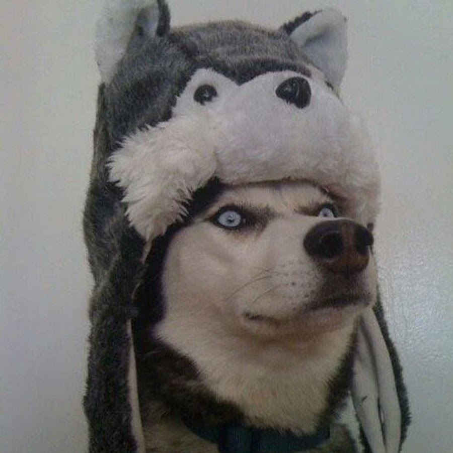 a dog wears a hat